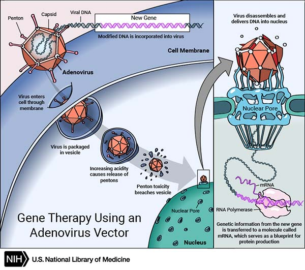 Some gene therapies employ viruses to deliver new genes. Other approaches such as CRISPR can directly modify the genes of a living organism.