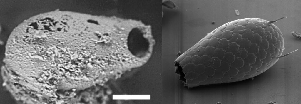Testate amoebae make shells. On the left is an amoeba shell recovered from a 742 million year old sedimentary layer in the Grand Canyon. On the right is a modern specimen.